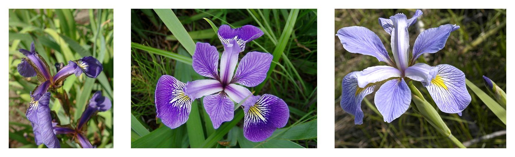 Geometria da pétala comparada para três espécies de íris: Iris setosa, Iris virginica e Iris versicolor